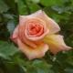 Описание и выращивание роз сорта «Барок»