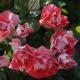 Розы «Нью-Джерси»: особенности и уход