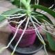 Все о воздушных корнях у орхидеи