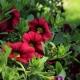 Как посеять петунию на рассаду?