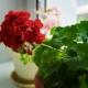 Как выращивать герань из семян в домашних условиях?