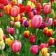 Как вырастить тюльпаны из семян?
