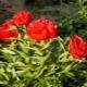 Описание и выращивание пионов «Диана Паркс»