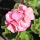 Пеларгония «Рафаэлла»: описание и выращивание