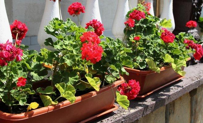 Солнцелюбивые растения для балкона.
