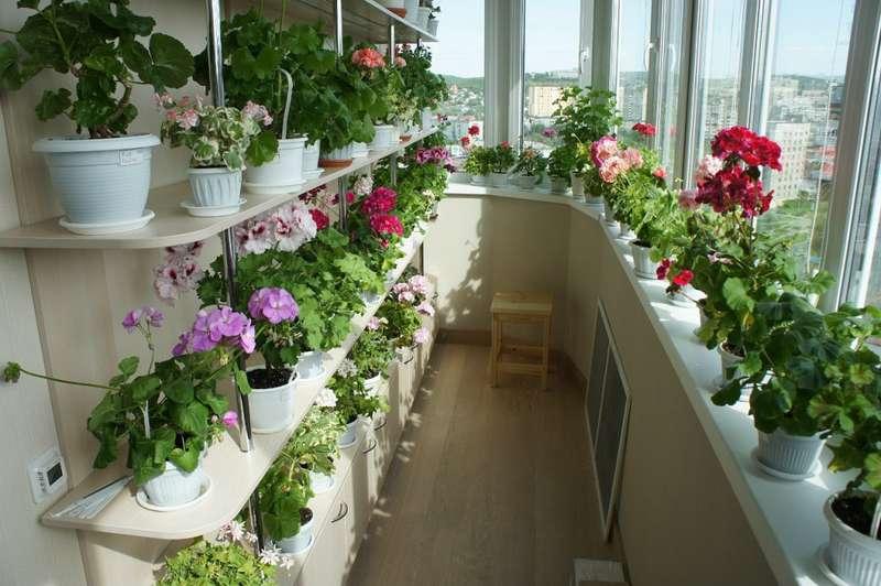 Цветы для застекленного балкона