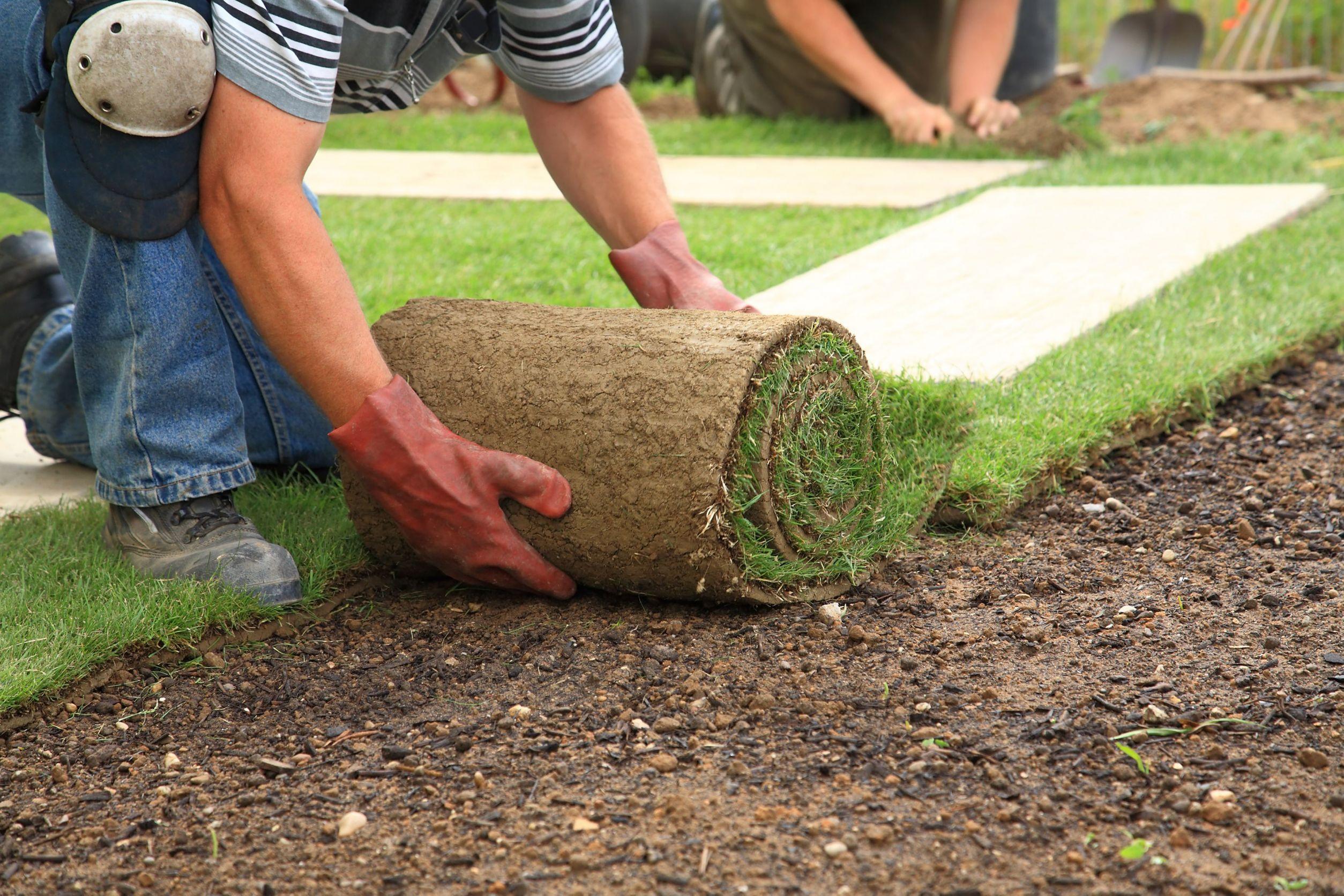 Технология выращивания рулонный газон 87