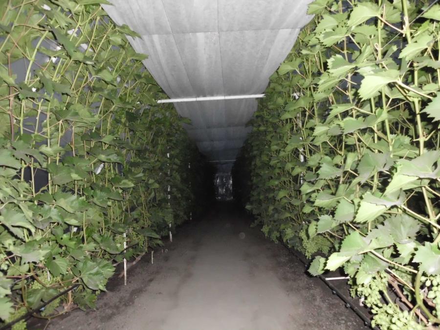 Виноград в теплице технология выращивания 856