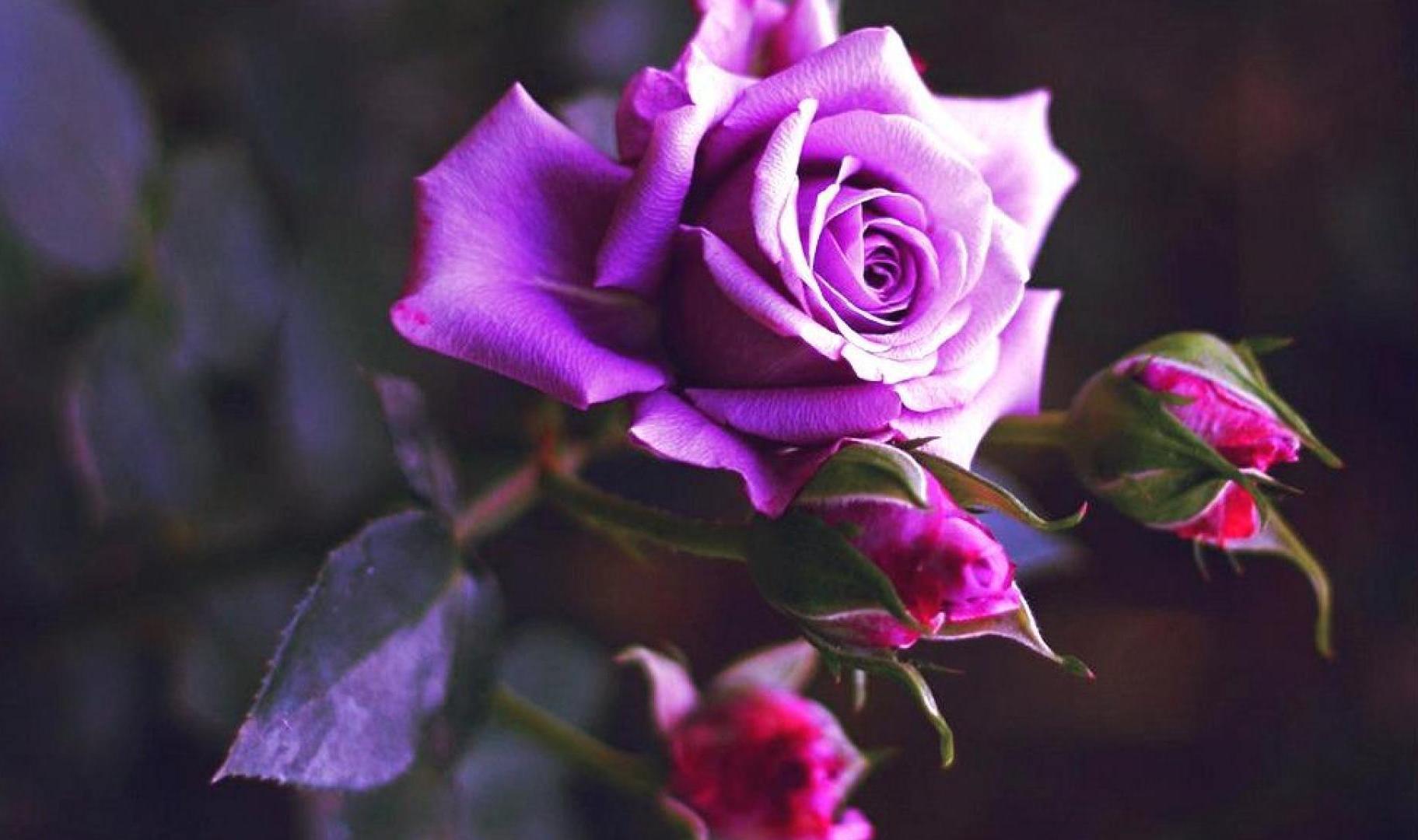 красивая сиреневая роза фото своими руками