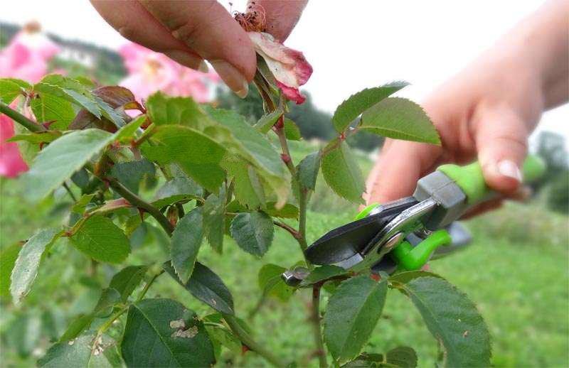 Как стричь розы осенью