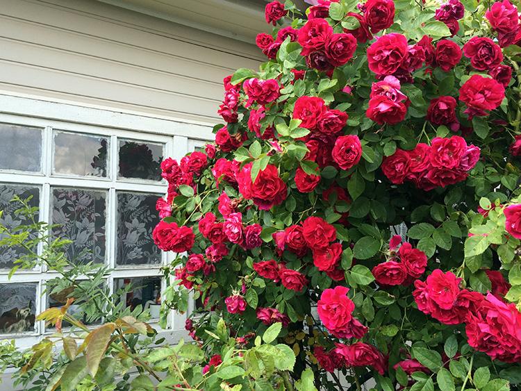 Розы корнесобственные цветущие фото описание