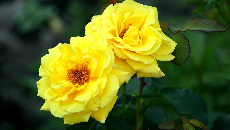 Плетистая роза Казино: отзывы, фото, описание