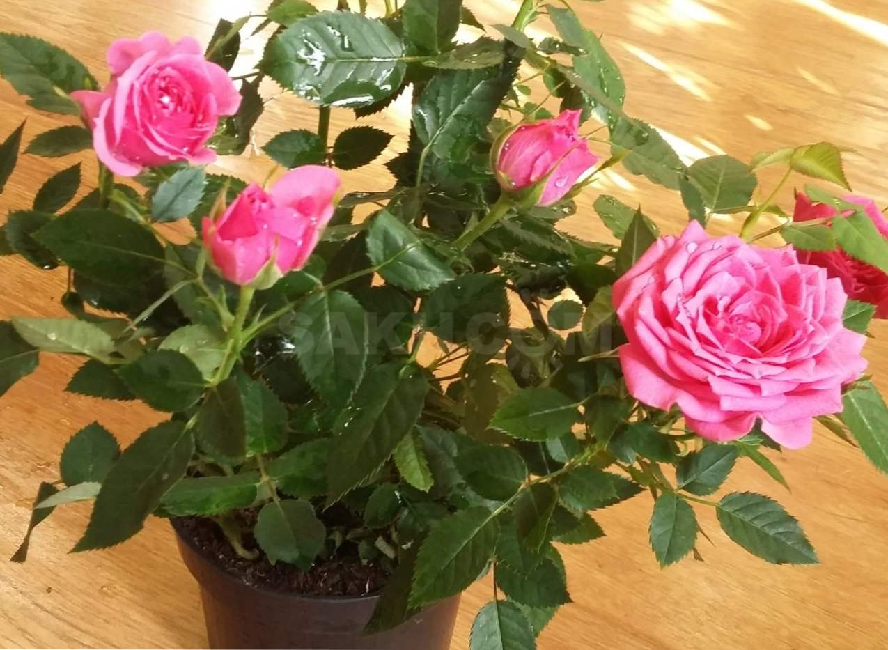 форма роза кордана сорта с фото привет