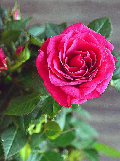 Роза кордана размножение черенками