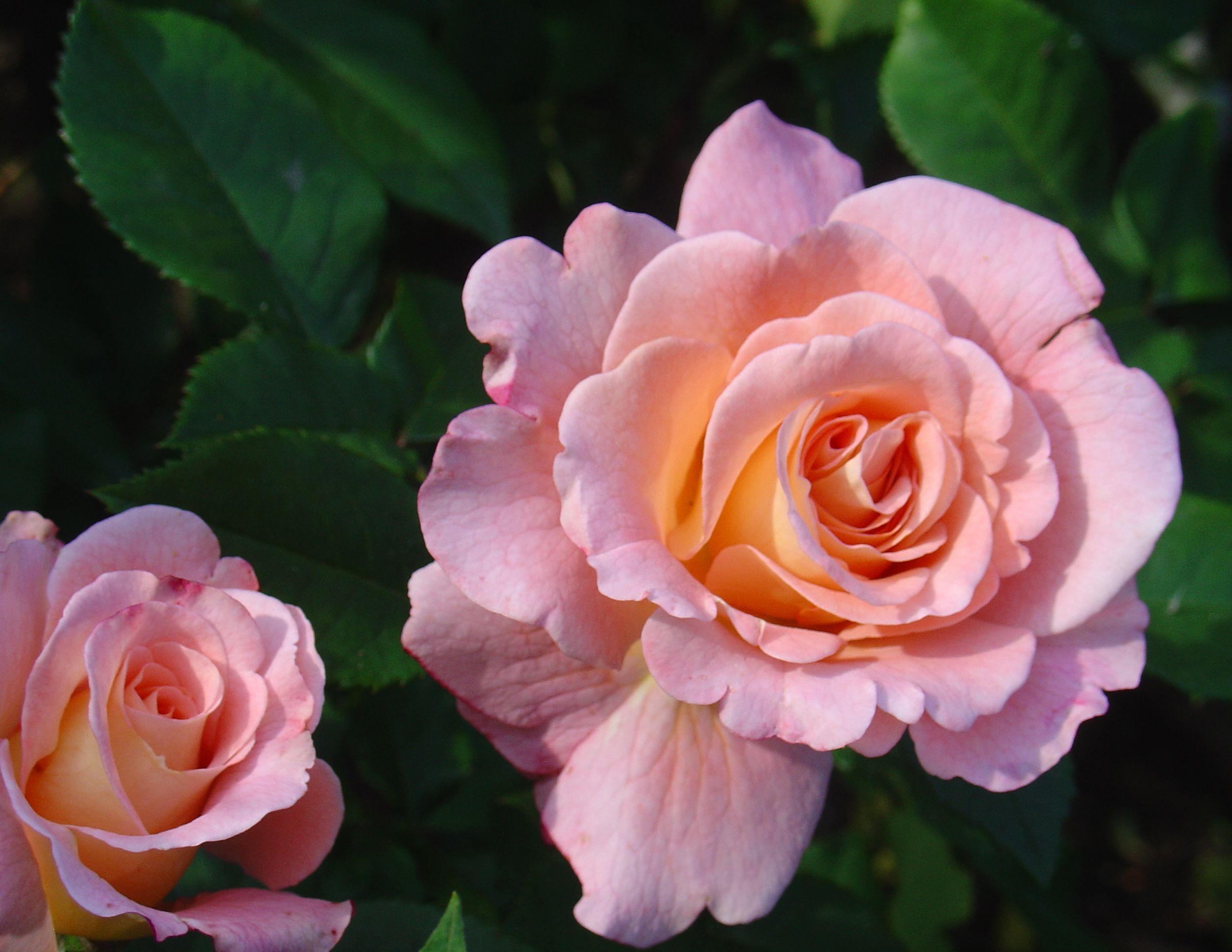 улыбайся роза фото цветы описание данным экспресс-газеты