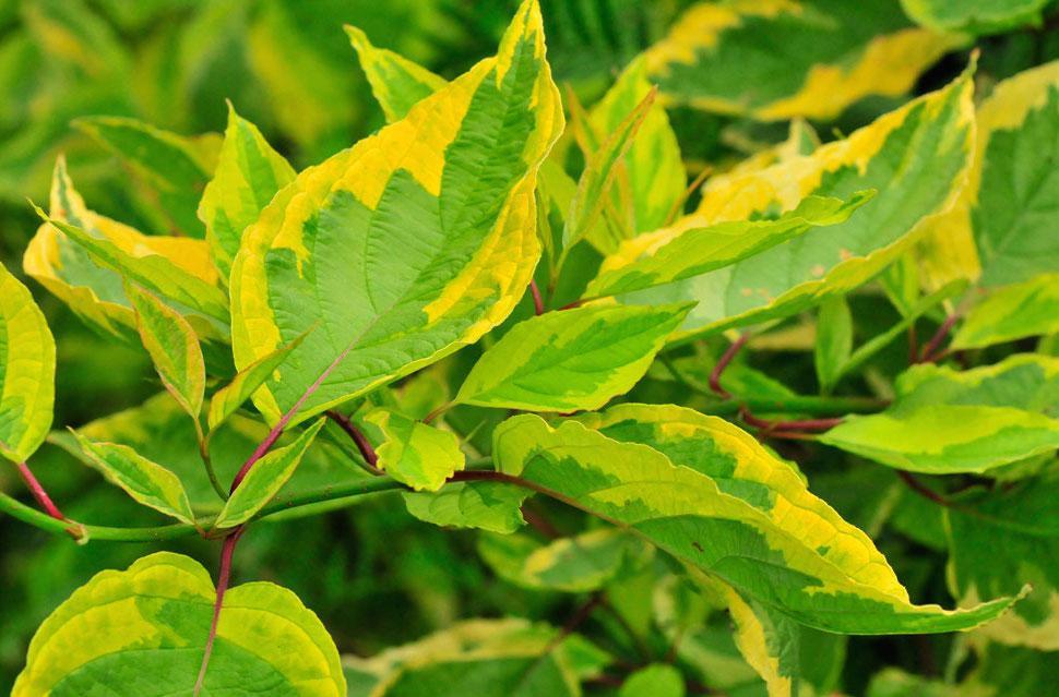 Дерен - Лиственные деревья и кустарники - Декоративные деревья и кустарники