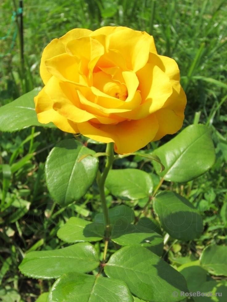 сорта желтых роз с фото и названиями даже если