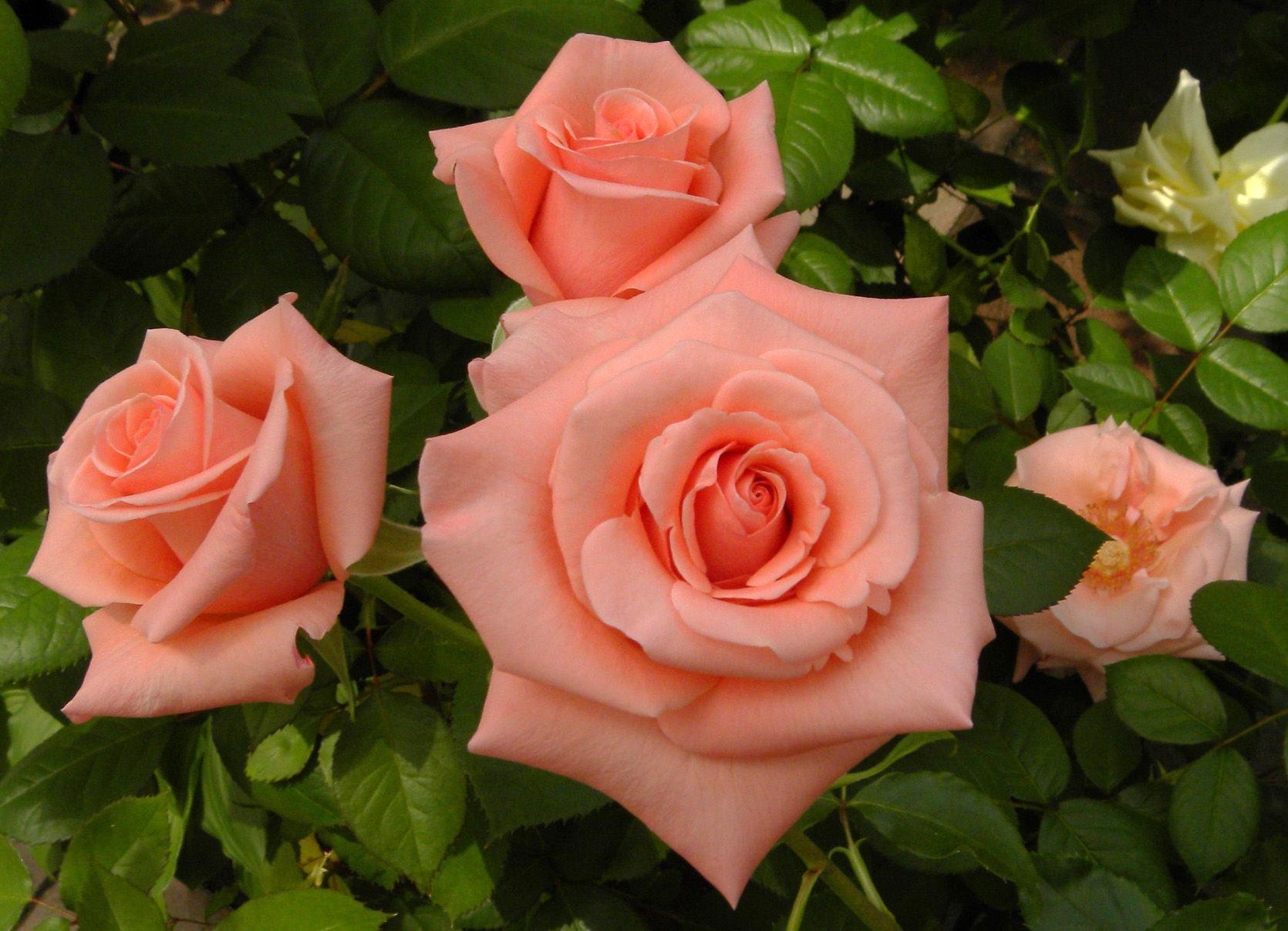 при выборе чайные розы показать картинки фигуры кажутся