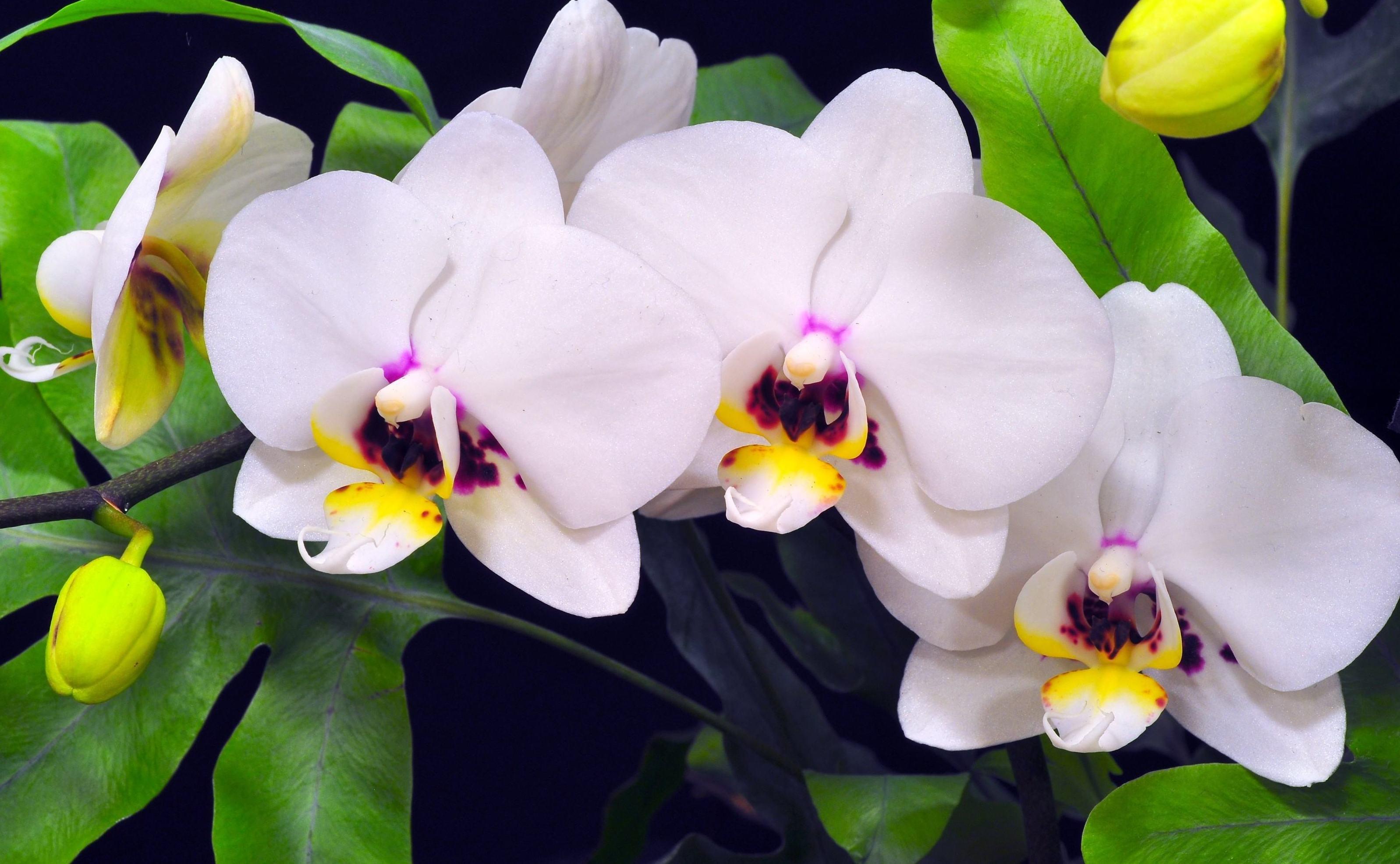 Как готовится и применяется чесночная вода для орхидей?