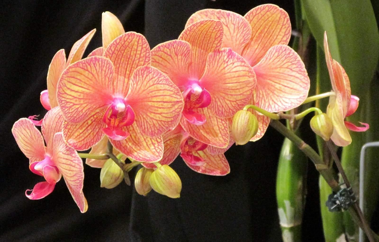 Как заставить цвести орхидею фаленопсис в домашних условиях{q} Что делать, чтобы она зацвела повторно{q} По каким причинам она не цветет{q}