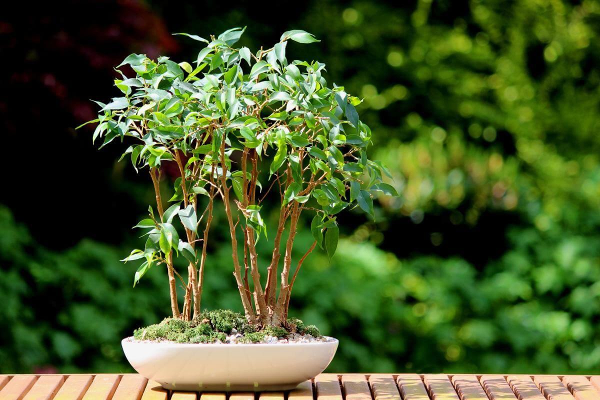 Фикус бенджамина мелкие листья почему