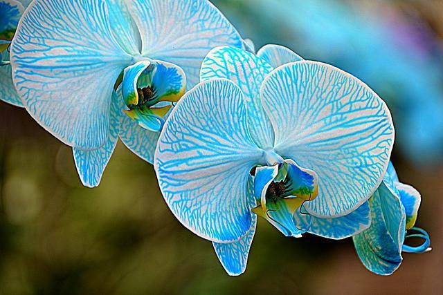 Какие бывают сорта орхидеи фаленопсис? Названия самых известных видов и их описание