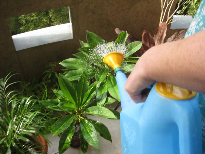 Как поливать фикус? Как часто нужно поливать его в домашних условиях после пересадки? Как правильно опрыскивать? Как спасти фикус, который залили?