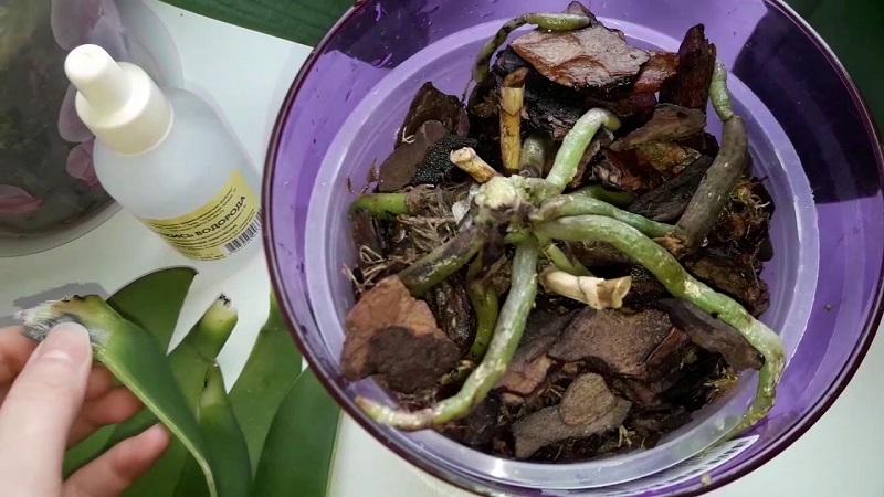 Как спасти орхидею: без корней и без листьев дома