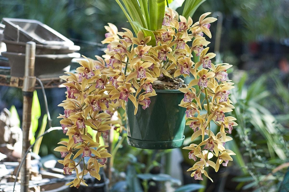 Клубни орхидеи из вьетнама как сажать. Советы, как посадить орхидею из луковицы из вьетнама. Характеристика и многообразие