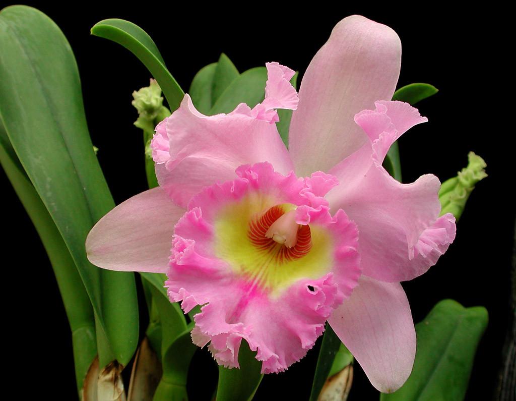всегда они орхидея каттлея фото уход в домашних предстала
