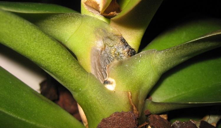 Сгнили корни у орхидеи фаленопсис: что делать, если растение пропадает и можно ли его спасти, также фото пораженного цветка