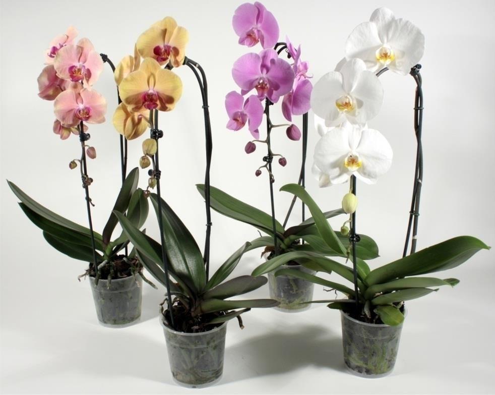 Трипсы на орхидеях (7 фото): как их распознать и как с ними бороться? Как они выглядят? Можно ли применять «Актеллик»?