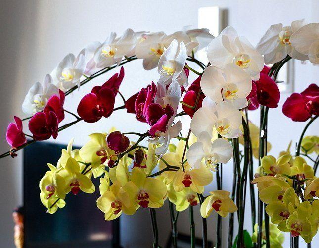 Как сделать у орхидеи много цветоносов
