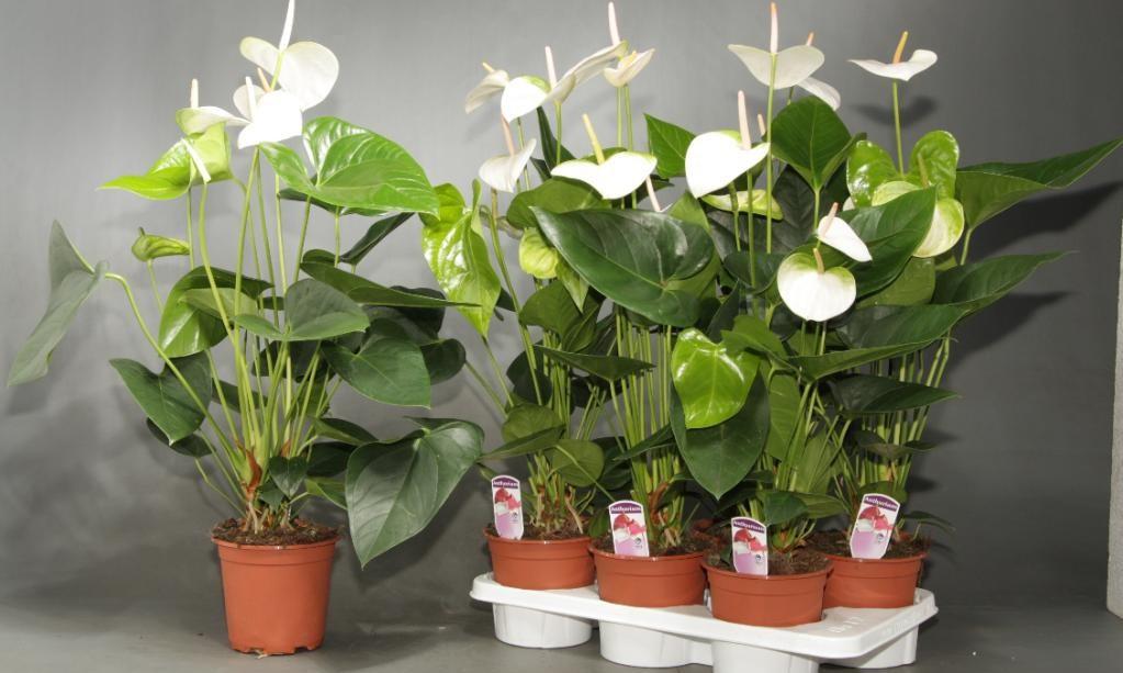 Антуриум белый (20 фото): сорта и уход в домашних условиях за белыми  цветками «мужское счастье»