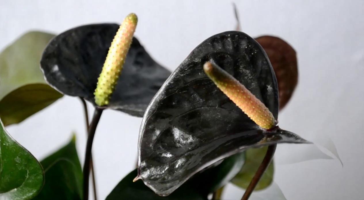Наращивание корней, посадка антуриума Черный Принц