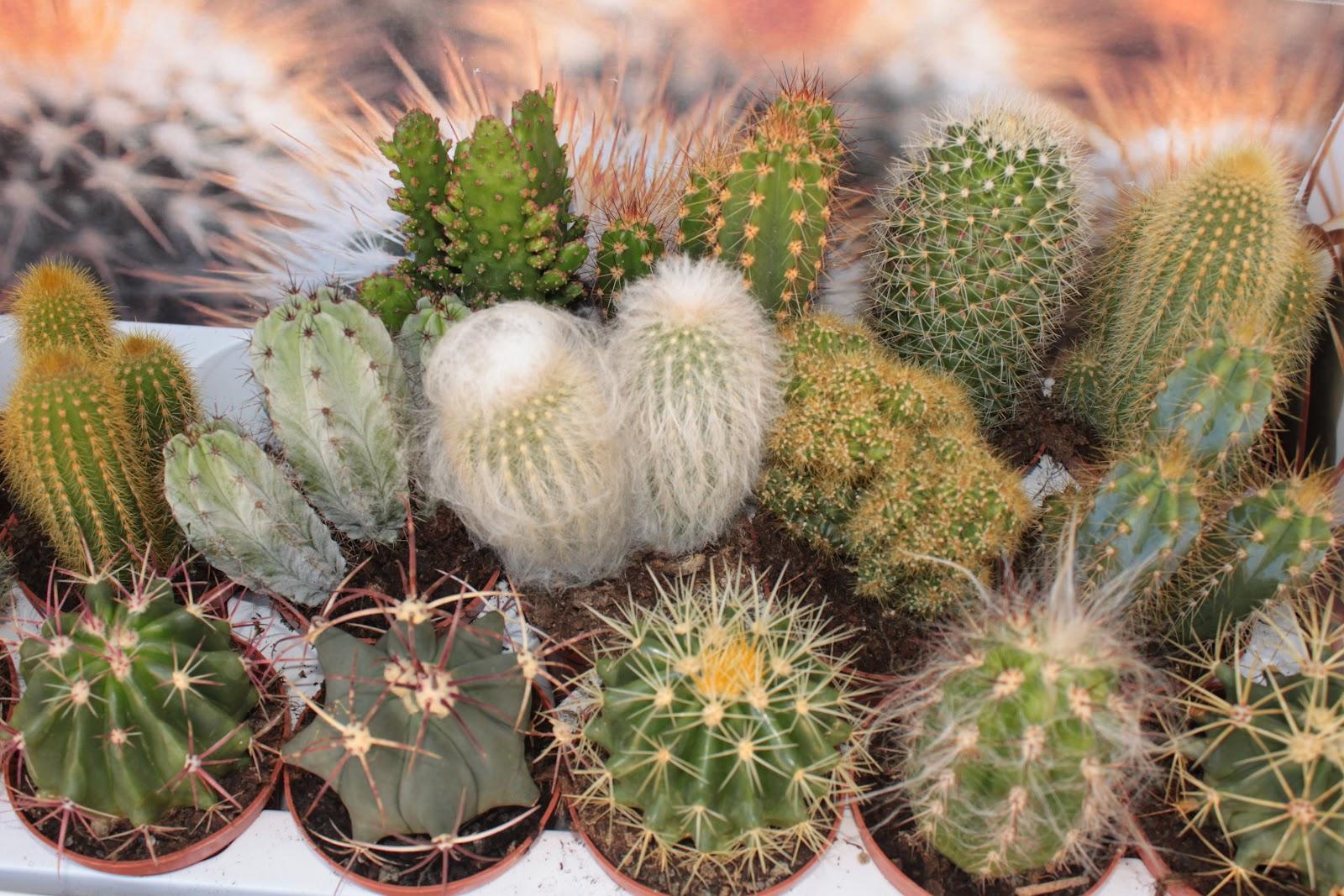 все кактусовые и их названия картинки кто-то