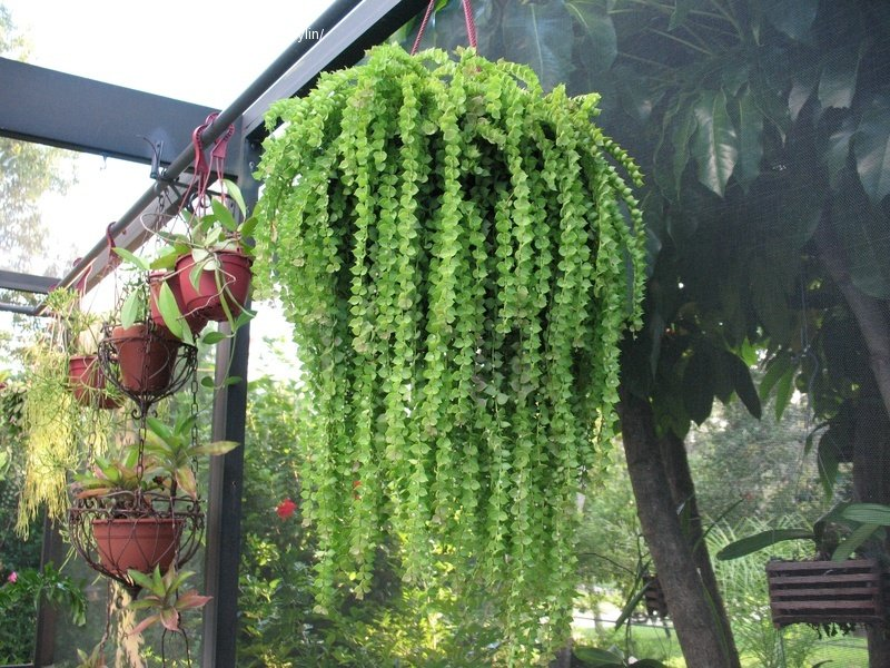 долгоиграющая, все-таки ампельные комнатные растения фото с названиями видео, они обращали