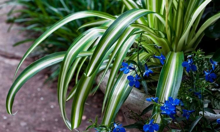 Хлорофитум 60 фото уход за комнатным цветком в домашних условиях Как выглядит растение Возможные болезни