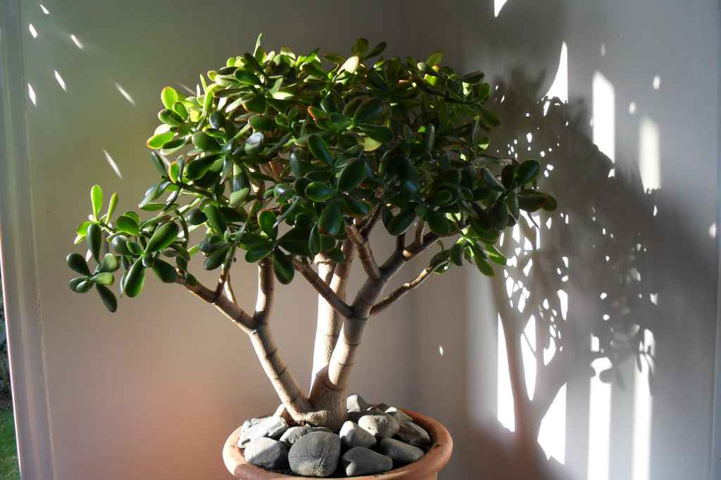 Как обрезать, омолодить, придать форму и сделать красивое Денежное дерево