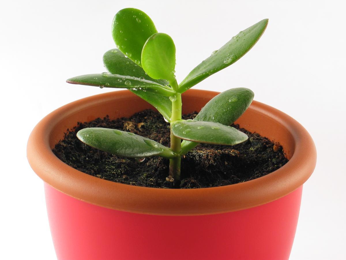 Как правильно посадить живое дерево