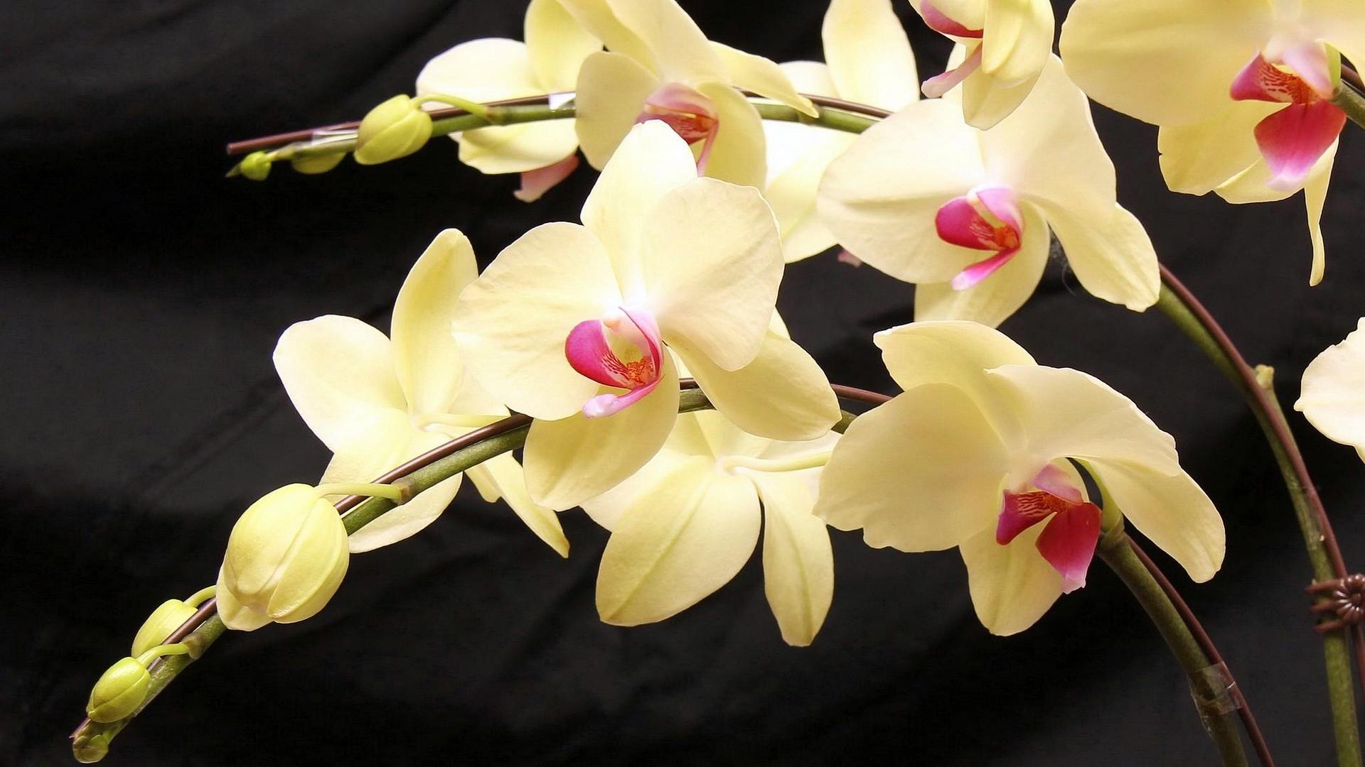 Как размножить орхидею в домашних условиях черенками и другими способами видео