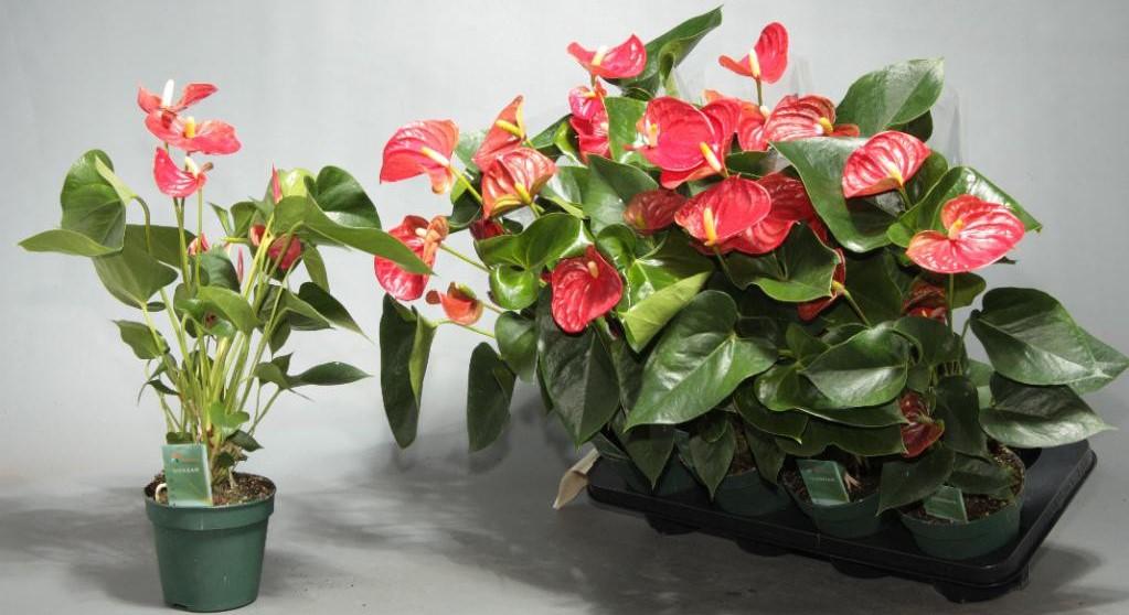Как ухаживать за антуриумом в домашних условиях? Цветок мужское счастье