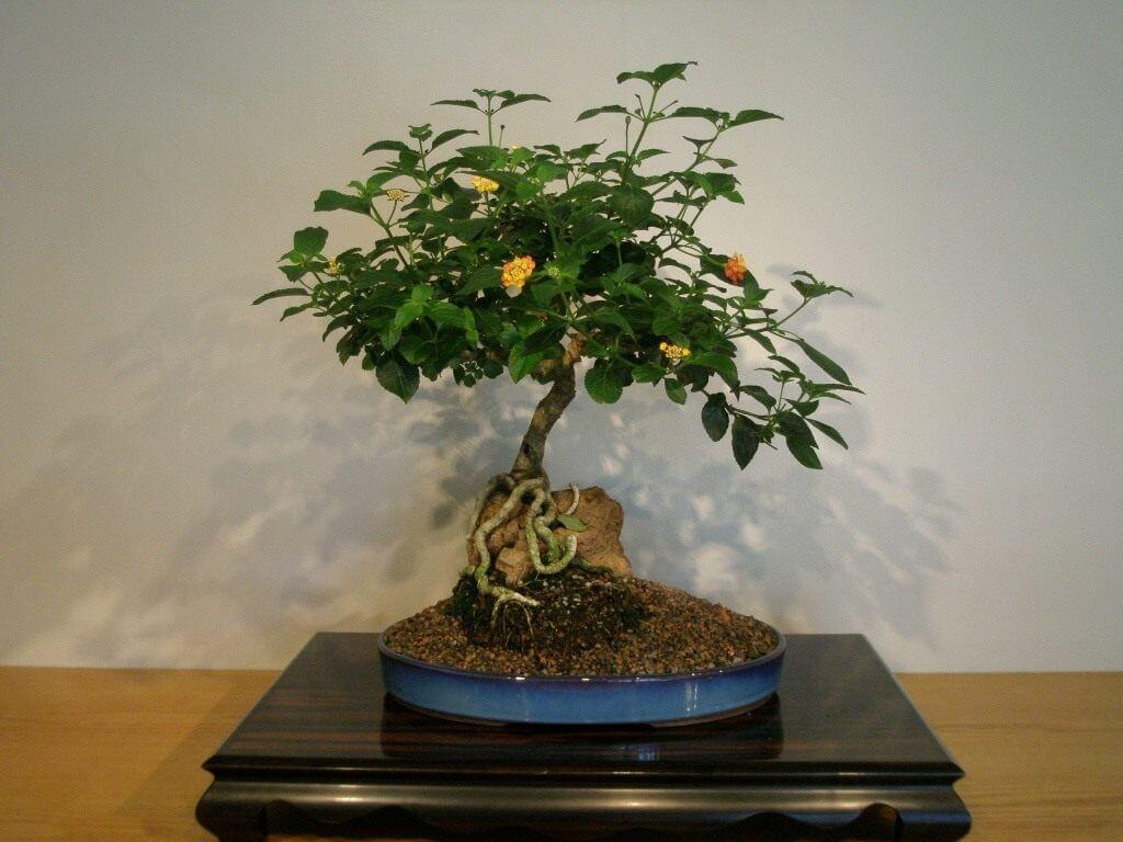 Дерево бонсай (110 фото)   инструкция по выращиванию и уходу за деревом