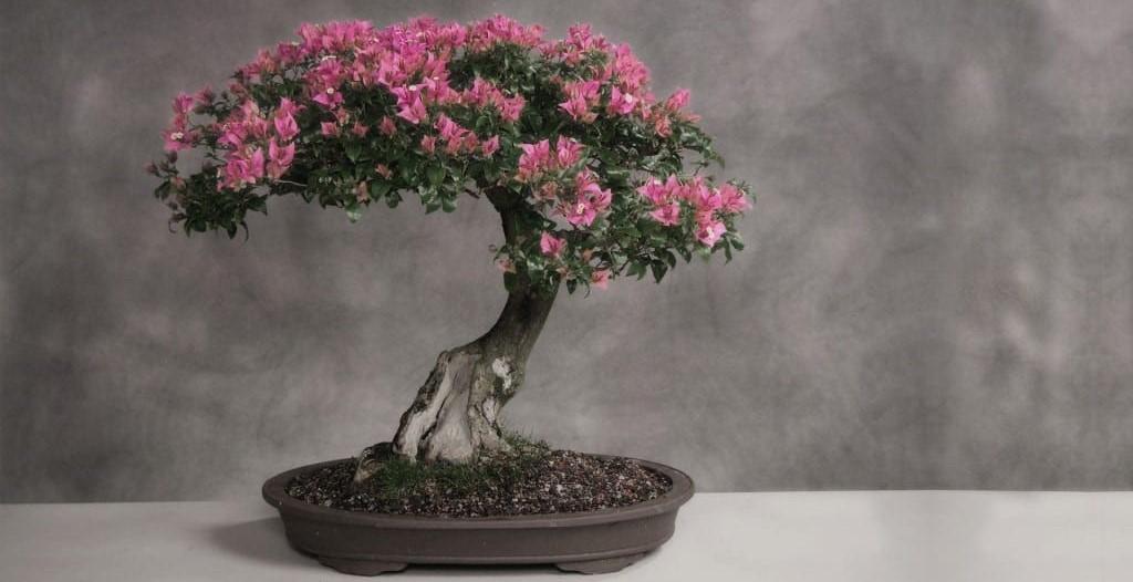 Карликовое дерево сакура