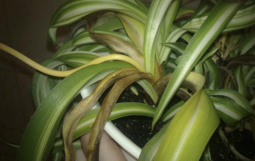 Почему сохнут кончики листьев у хлорофитума — О цветах