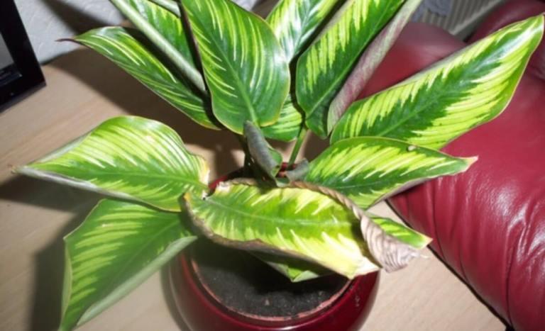 Почему у калатеи сохнут листья? Что делать, если листья калатеи желтеют и скручиваются?