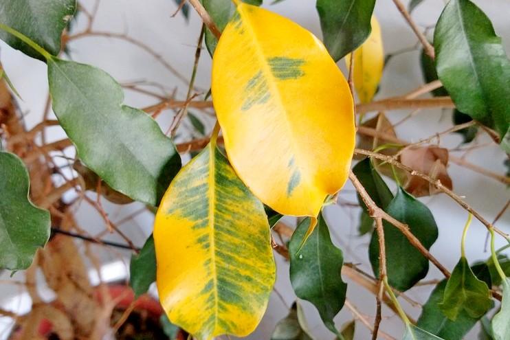 Фикус Бенджамина сбрасывает листья - что делать и чем подкормить{q}