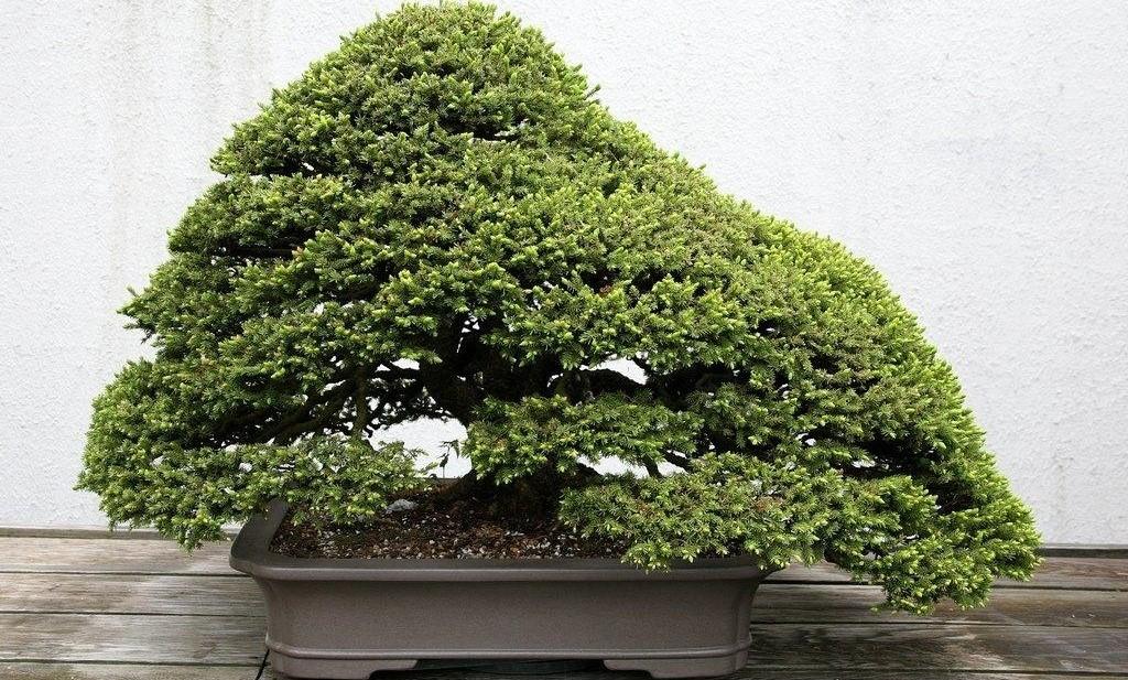 Как вырастить бонсай из ели и других хвойных деревьев