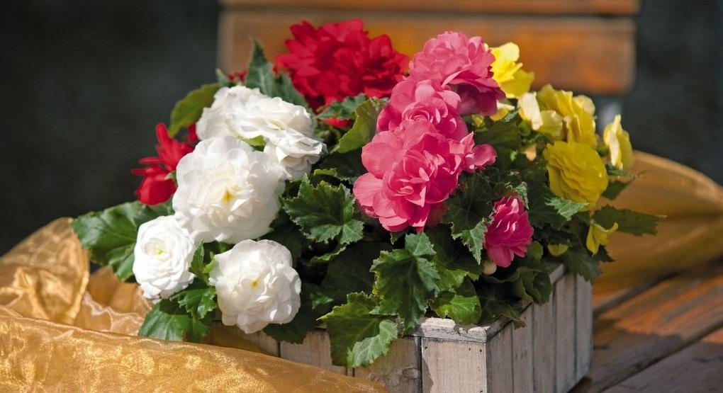 Бегония красная: описание, уход в домашних условиях, способы размножения цветка
