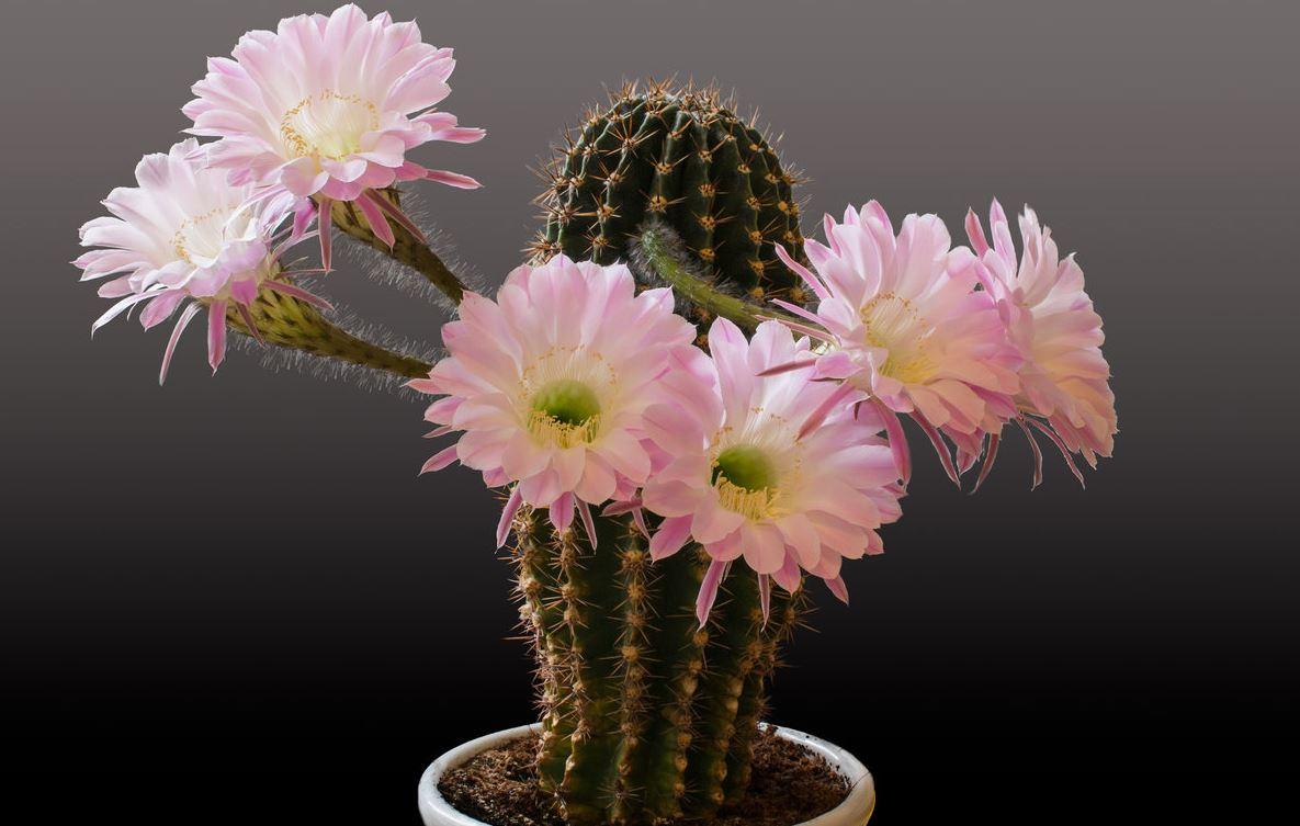 для террасной фото цветения кактусов с названиями она может зависеть